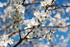 Plum tree in blossoms. Royalty Free Stock Image