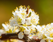 Plum-tree branch Royalty Free Stock Photography