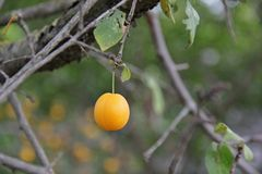A plum on a tree branche Stock Photography