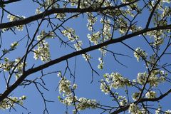 Plum tree branches with beautiful white flowers on the background of blue sky.  stock images