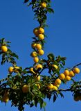 Plum tree. Branches of plum tree with many ripe fruits royalty free stock images