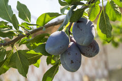 Plum tree brunch Royalty Free Stock Photo