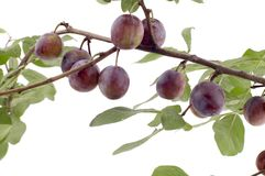 Plum tree closeup Royalty Free Stock Image