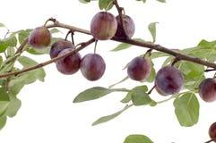 Plum tree closeup royalty free stock image