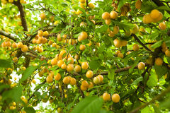 Plum-tree crowded Stock Image