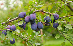 Plum Tree. Deep purple plums hang from the branch at an orchard, waiting to be picked Royalty Free Stock Photo