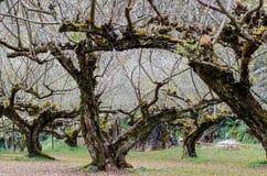 Plum tree. Doi Ang Khang plum tree stock image