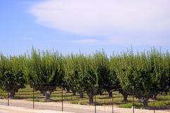 Plum tree. Stock Photo