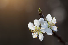 plum tree flower Stock Photo