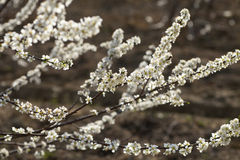 Plum tree flower. Bunches of plum tree with white flowers royalty free stock photos