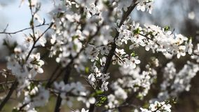 Plum tree. stock video