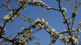 Plum tree. stock video footage