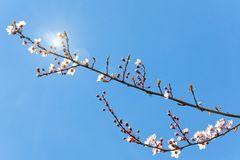 Plum tree flowers. And buds with sun shining under clear blue sky Stock Images