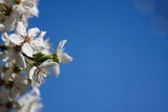 Plum Tree Flowers Fotografía de archivo libre de regalías