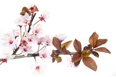 Plum tree flowers Royalty Free Stock Photo