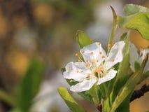 Plum Tree Flowers Stock Afbeelding