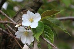 Plum Tree Flowers Arkivfoto