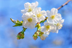 Plum tree flowers in bloom. Against blue sky royalty free stock photography