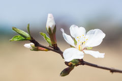 Plum-tree flowers Royalty Free Stock Image