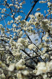 Plum-tree flowers. Plum tree flowers in spring Royalty Free Stock Photo