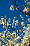 Plum-tree flowers. Plum tree flowers in spring Royalty Free Stock Photography