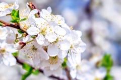 Plum tree flowers royalty free stock photography