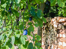Plum tree with foliage and damson on wood pile in background Stock Photos
