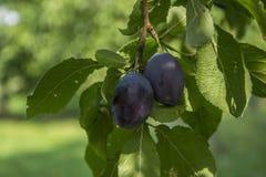 Plum tree. Fresh two plums on the tree Stock Photos
