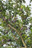 Plum Tree with Fruit Royalty Free Stock Photography