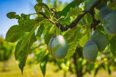 Plum tree fruit - Organic healthy food from the nature. Plums are a good choice for beginner gardeners who want to grow fruit trees. Plum trees are widely Stock Photos