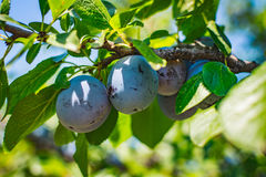 Plum tree fruit - Organic healthy food from the nature. Royalty Free Stock Photos