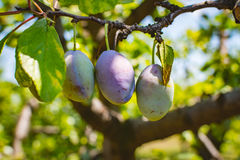 Plum tree fruit - Organic healthy food from the nature. Stock Photos