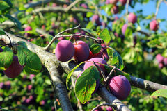 Plum tree with fruit Stock Images