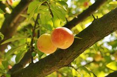 Plum tree with fruits Royalty Free Stock Photography