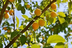 Plum tree with fruits Royalty Free Stock Photos