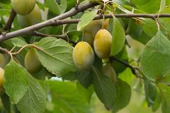 Plum tree with Fruits. Branches of plum tree with fruits royalty free stock images