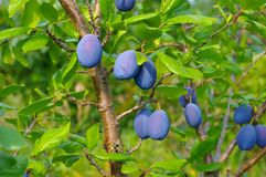 Plum tree with fruits in fall. Blue plum tree with ripe fruits in fall in the garden stock images