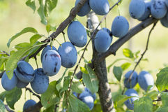 Plum tree with fruits growing in the orchad Royalty Free Stock Photography