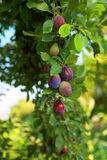 Plum tree with  fruits Royalty Free Stock Images