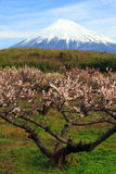 Plum Tree with Fuji Stock Photography
