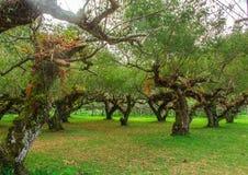 Plum tree garden. In chiangmai thailand stock photo