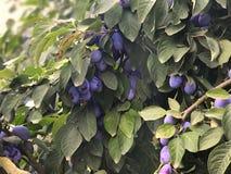 Plum tree in the Garden. royalty free stock photos