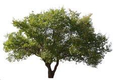 Plum tree isolated. Big plum tree isolated on white background stock images