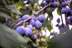 Plum tree with juicy fruits on it Royalty Free Stock Photography