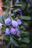 Plum tree with juicy fruits on it Stock Images