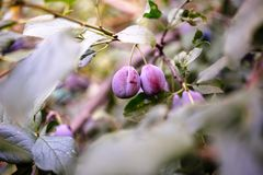 Plum tree with juicy fruits on it.  royalty free stock photo