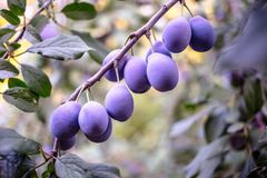 Plum tree with juicy fruits on it.  stock images