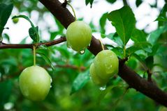 Plum tree with juicy fruits with rain drops.  stock photography
