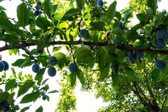 Plum tree with juicy fruits on sunset light. sunlight falling on the leaves. Image royalty free stock photo