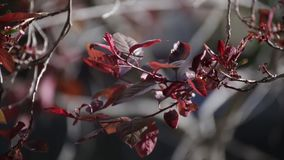 Plum Tree Leaves Blowing in the Wind. Dark red or maroon leaves on branches blowing in the wind. Spring or summer day stock footage